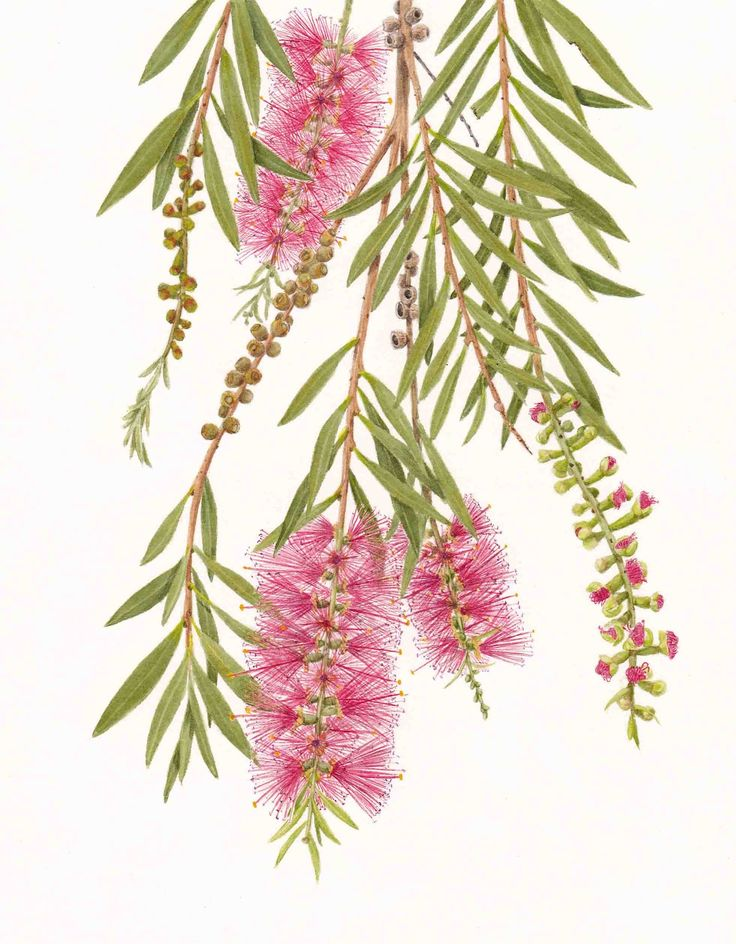 Calistemon - Bottlebrush painting by Leonie Norton, July 2012