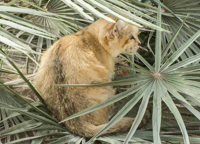 Sandkatze (Felis margarita) - Wüstenkatze -  sand dune cat - sand cat - chat des sables -