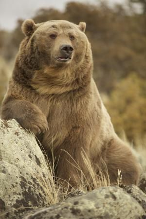 Montana Grizzly Encounter, Bozeman, MT: See 223 reviews, articles, and 142 photos of Montana Grizzly Encounter, ranked No.5 on TripAdvisor among 46 attractions in Bozeman.