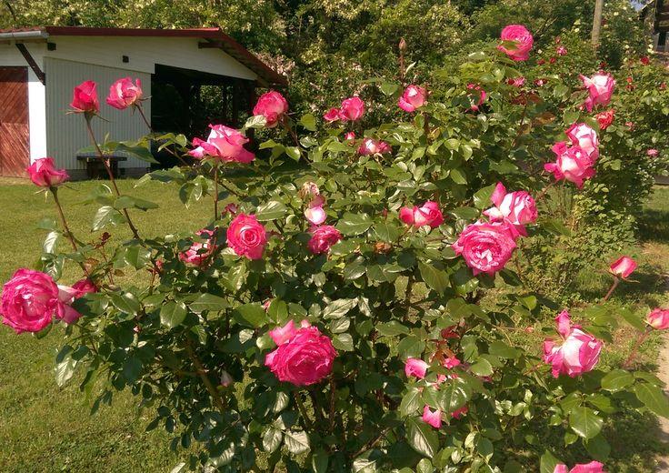 Roses of may 2017