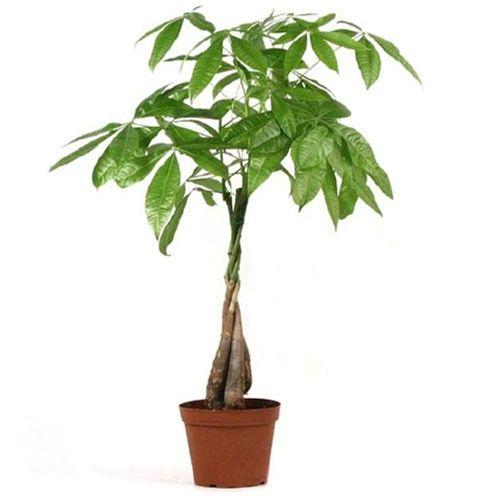 25 trendige money tree bonsai ideen auf pinterest b ume. Black Bedroom Furniture Sets. Home Design Ideas