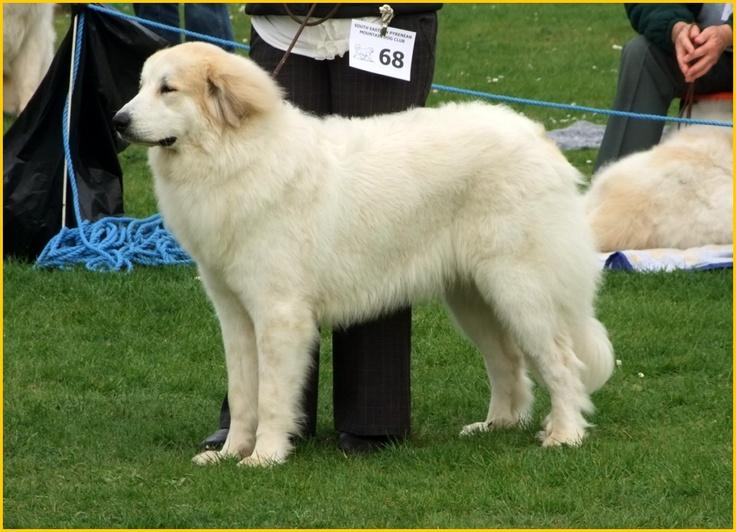 Pyrenean Mountain dog | Pets | Pinterest