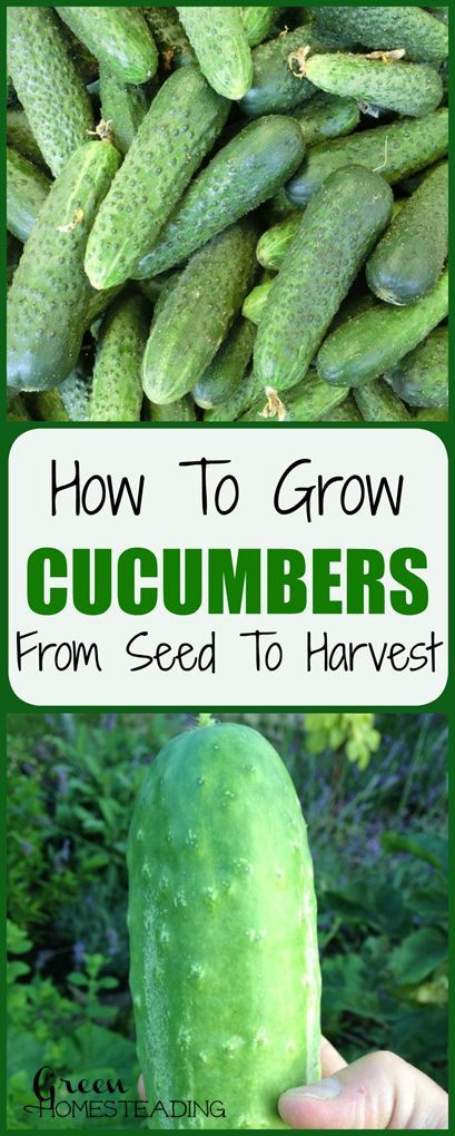 How To Grow Cucumbers From Seeds To Harvest Back Yard