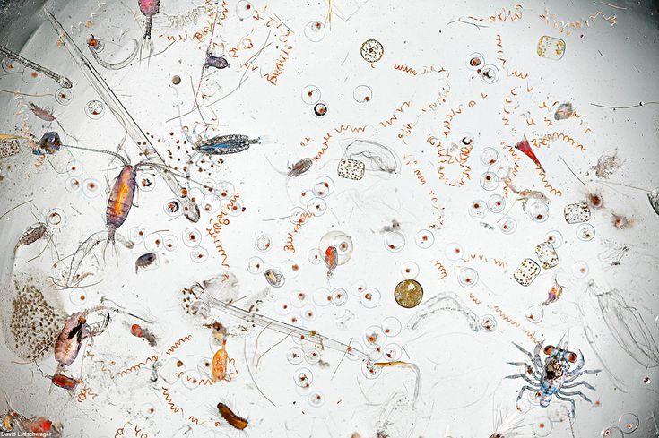 ¿Te acuerdas de toda el agua de mar que has tragado en tu vida?  Bueno, esta es una gota al azar de agua de mar ampliada 25 veces. En esta imagen puedes ver larvas de cangrejo, cianobacterias, diatomeas, copépodos, gusanos marinos y mucho más. Impresionante, ¿No?