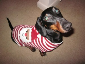 Mort in a jumper....: Dachshund