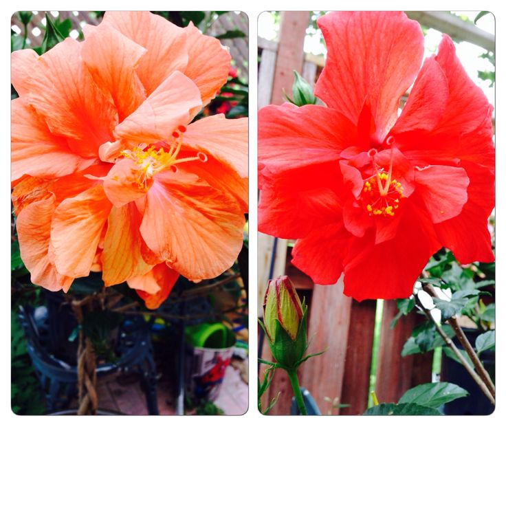 Double flower Hibiscus tree!! One of my must haves!