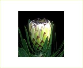 White Mink - Protea - Proteas and Leucadendrons - Flowers by category | Sierra Flower Finder