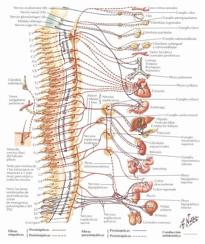 Na cabeceira da cama! Sistema nervoso autónomo.