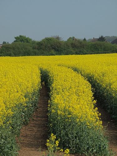 Oil seed rape field at Chattneden in Kent