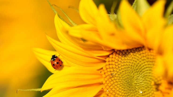 Today again a beautiful day, with lots of sunshine. Sunflowers in the garden thrive. And so do ladybugs preying on aphids.