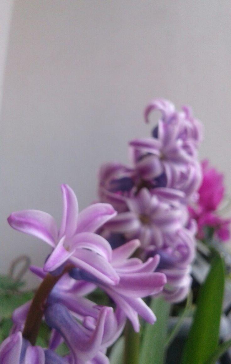 Hyacinth flowers in my balcony