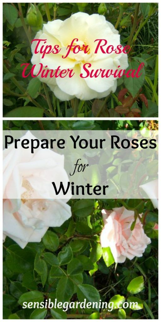 Prepare your roses for winter with this guide from Sensible Gardening. With a little care, your roses will be in great shape to return once the snow melts. Click in for the complete guide.