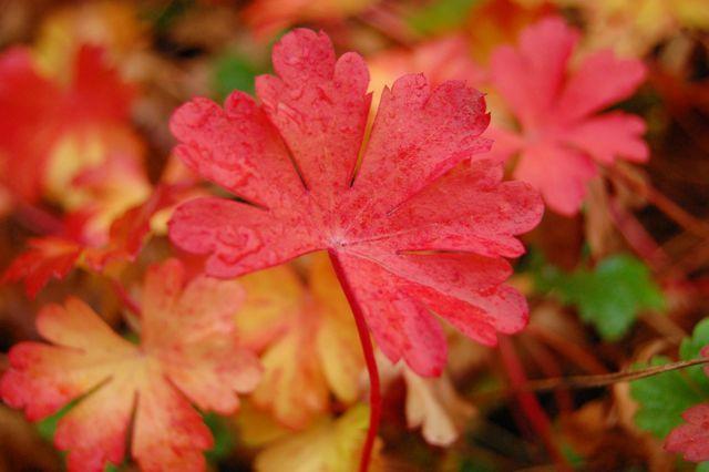 Geranium Biokovo...something to consider for spring and fall interest