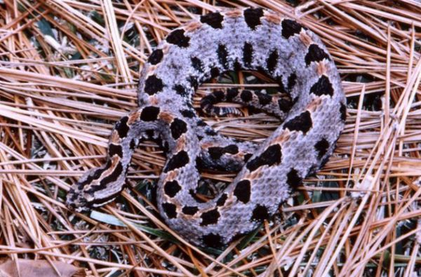 High Waters And Flooding Means Look Out For These Venomous Snakes In South Louisiana