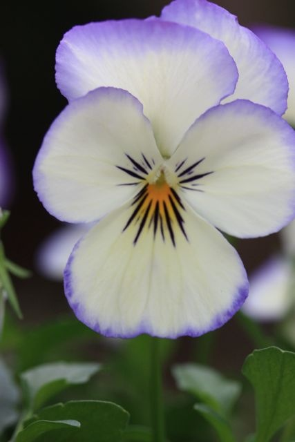 White Pansy Edged In Blue Pansy Faces Pansies
