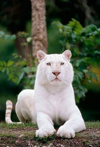 It's probably just this photo but it almost seems as if the nose, ears, tip of tail and paws are slightly darker than the main body of this white tiger. In domestic cats the true albino (pink eyed white) is linked to the same gene that causes Siamese and Himalayan. Wouldn't it be amazing to see those colors in a tiger?
