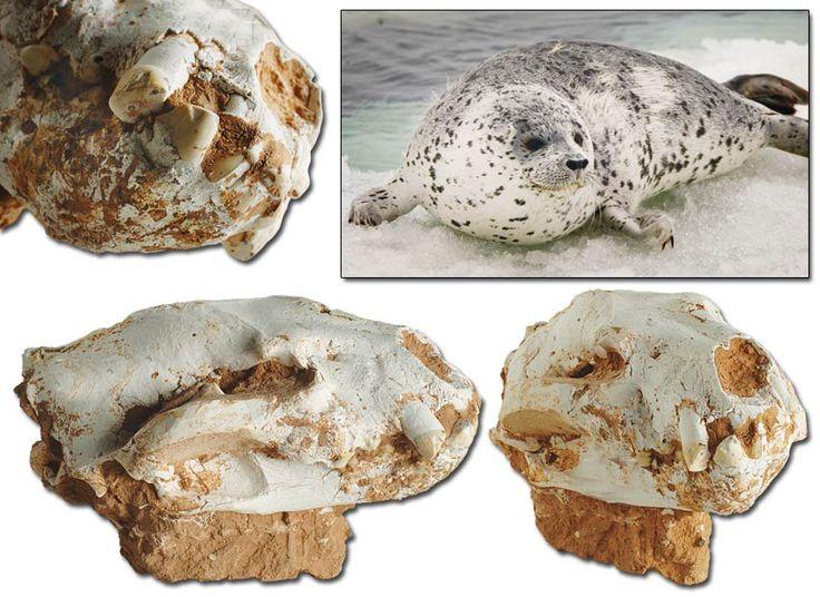84 MİLYON YILLIK FOK KAFATASI http://dusuneninsanlaricin.com/evrimi-curuten-50-fosil/