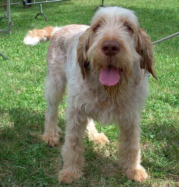 Spinone Italiano. They are members of the sporting group. They are great hunting dogs. They stand at 22-27 inches at the shoulder and weigh about 60-85 pounds.