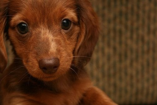 Want.Little Puppies, Sweets, Dachshund, Puppies Dogs Eye, Beautiful, Chocolates Brown, Real Food, Caramel, Animal