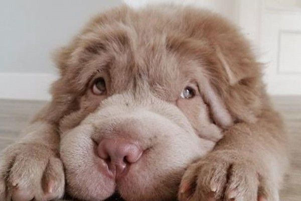 Meet the Dog Who Looks Like a Real-Life Teddy Bear | WOOFipedia by The American Kennel Club