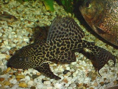 Cascudo Abacaxi (Pterygoplichthys Pardalis)