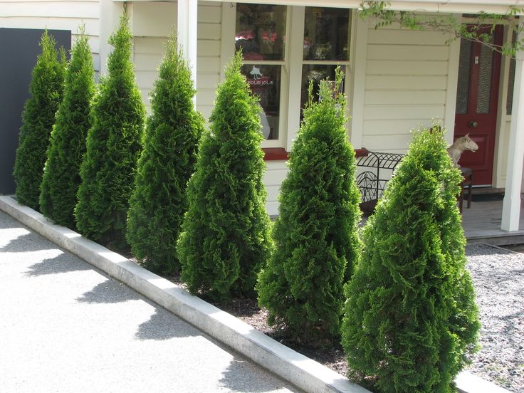 emerald green arborvitae privacy - Google Search