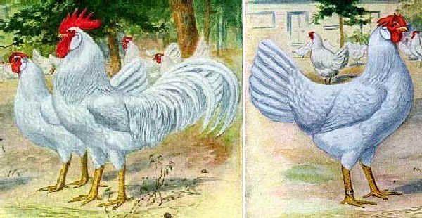 Razze polli: Livorno