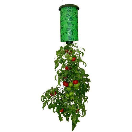 Como plantar tomate em garrafa pet Dicas do mundo feminino traz este post com a melhor maneira de aproveitar seu espaço e fazer uma plantação de tomates sem agrotóxico apenas com materiais que você…