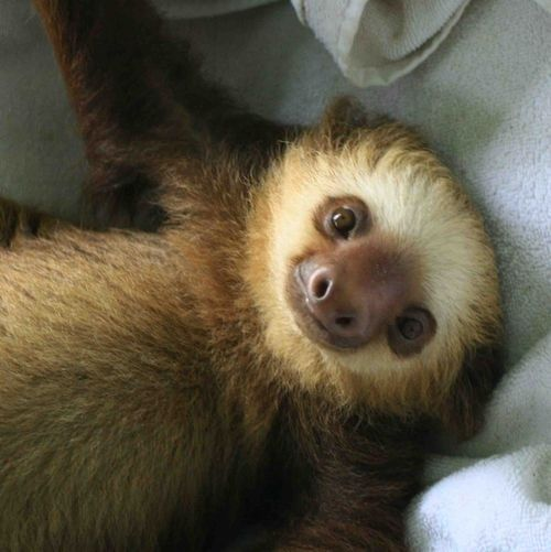 Best Sloths Images On Pinterest Beautiful Cops And Friends - 5 month old baby and sloth are the most unlikely of best friends