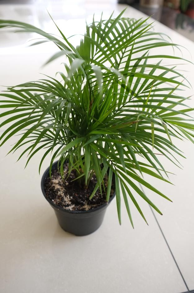 Bamboo Palm | Best Indoor Plants For Your Home