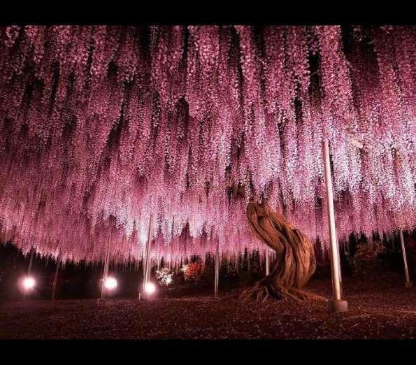 Glicínia de 144 anos no JapãoReprodução / Flickr y-fu - DR