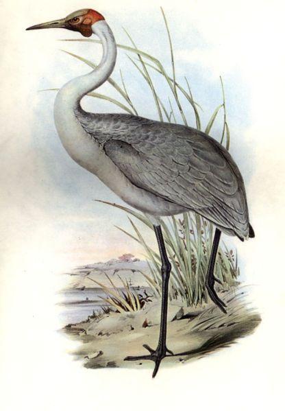 """Australian Brolga in 1865 by John Gould."" For me this is more how I associate John Gould. S."