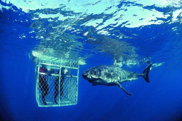Shark diving  with Great Whites in Capetown, South Africa.  Good excuse to go back to South Africa too!