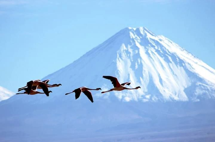 Flamingos above the Atacama salt flat, what a sight!   Thanks Cristian Jara Figueroa for sharing this with us!