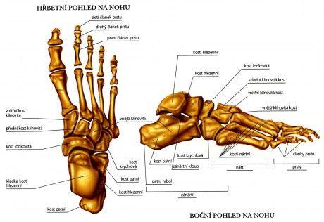 Anatomie nohou :: Studio Well Olomouc Pedikúra