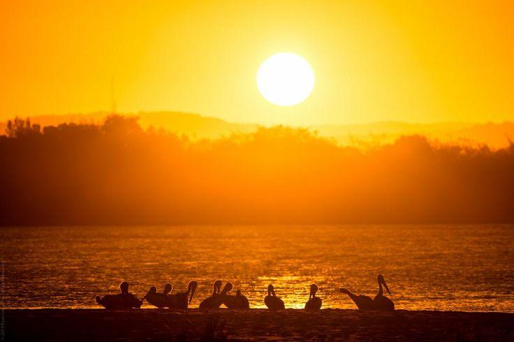 Pelicans enjoying the sunset at Mudjimba, Queensland Taken by @lightbrekkie 21/7/2014