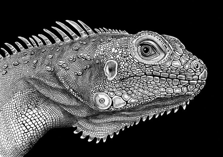 Tim Jeffs former guitarist for Rob Zbie finally shares with the world his other passion- incredibly detailed drawings of animals. Dome with only a uni ball pen and paper.