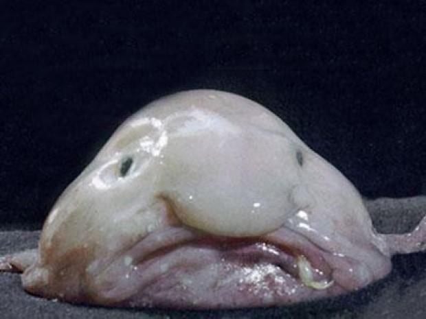 En tuhaf deniz yaratıkları Damla balığı İnsanlar tarafından yeni yeni keşfedilmiş olan bu balık türü genellikle Avustralya ve Tazmanya açıklarındaki derin sularda görülüyor.