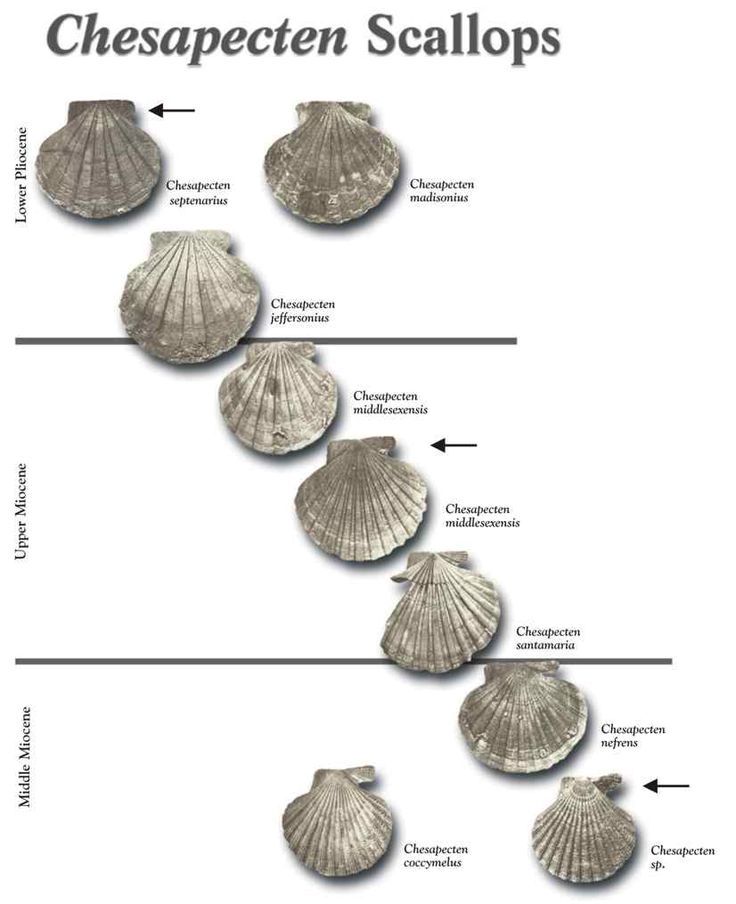 dating fossil shells Which of the following is most likely to become preserved as a fossil a jellyfish a clam shell a leaf a worm carbon 14 is useful for dating fossils that are.