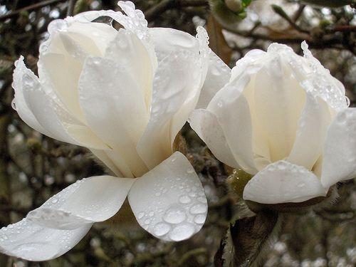 Wet and White Magnolia