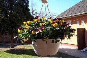 Kertészanyu: Balkonládáim első lakói az árvácskák Szerencsére megérkezett a jó idő, így egy napos délután gyorsan beültettem az összes balkonládámat színes vidám tavaszi árvácskával, sőt az akasztós virágtartóba is került pár tő. http://kertvarazsmagazin.hu/index.php/kerteszanyu-kertje/11240-kerteszanyu-balkonladaim-elso-lakoi-az-arvacskak