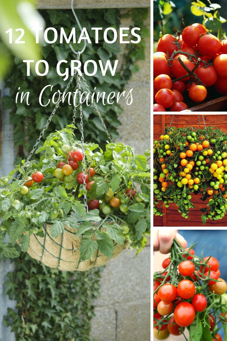 Growing cherry tomatoes in pots - 17 Best Ideas About Growing Tomatoes In Containers On Pinterest Growing Vegetables In Pots Plants In Pots And Container Vegetable Gardening