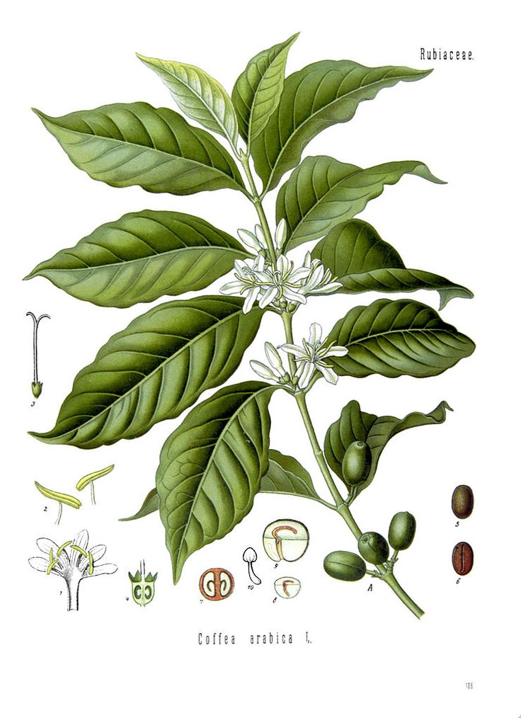 Coffea arabica plant and beans.