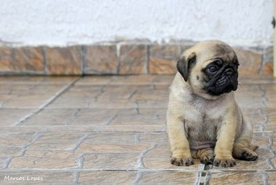 pugPugs Puppies, Dogs, Pug Puppies, Little Puppies, Sweets, Things Pugs, Pugs Life, Baby Pugs, Animal