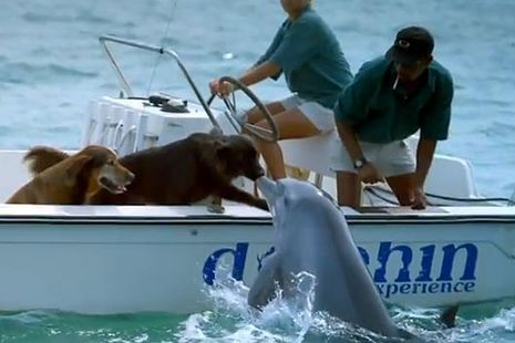 A curious dolphin emerges from the sea and gives the dog riding in the boat a kiss on the nose! The playful dolphin swims off and seems overjoyed at having met a new friend.