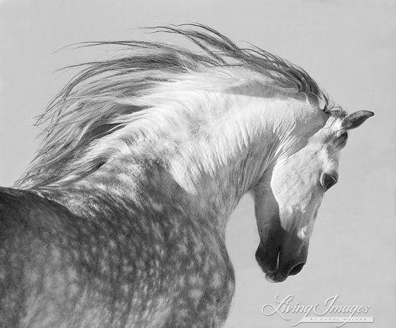 Semental español lanza su cabeza - arte caballo Fotografía - caballo - blanco y negro - andaluz - caballo Fotografía