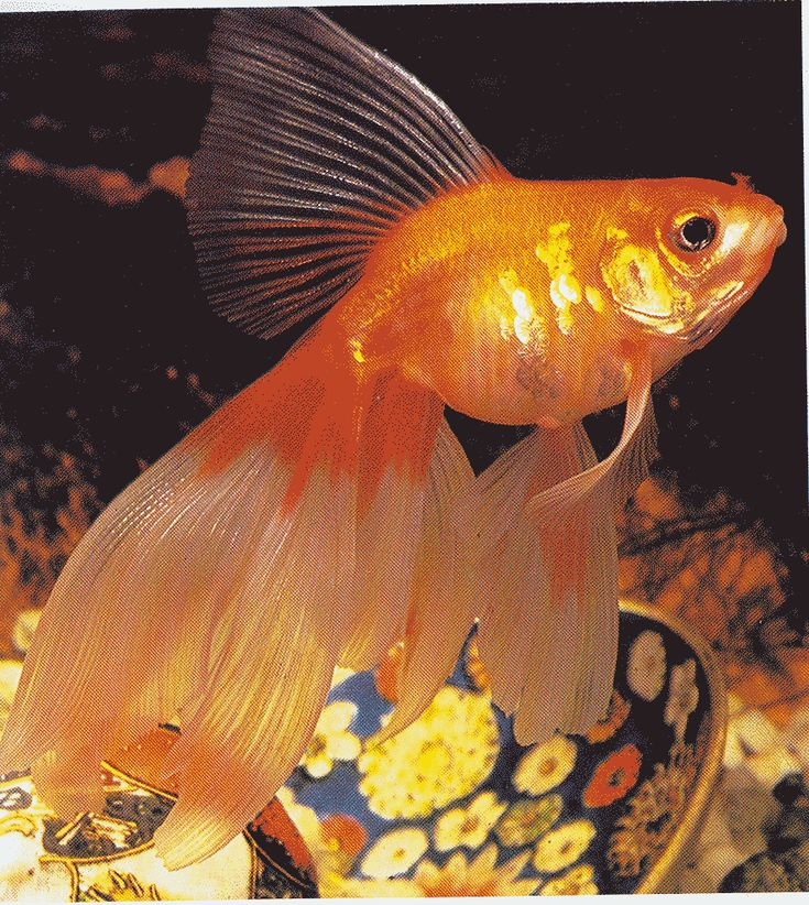 Pictures of goldfish fish goldfish gold fish for Pretty freshwater fish