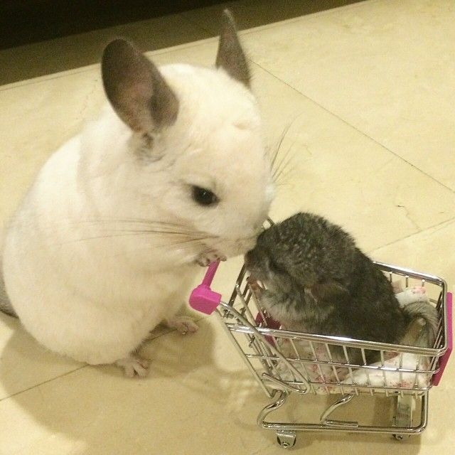 Bubu the Chinchilla is the cutest little thing ever! It's ...