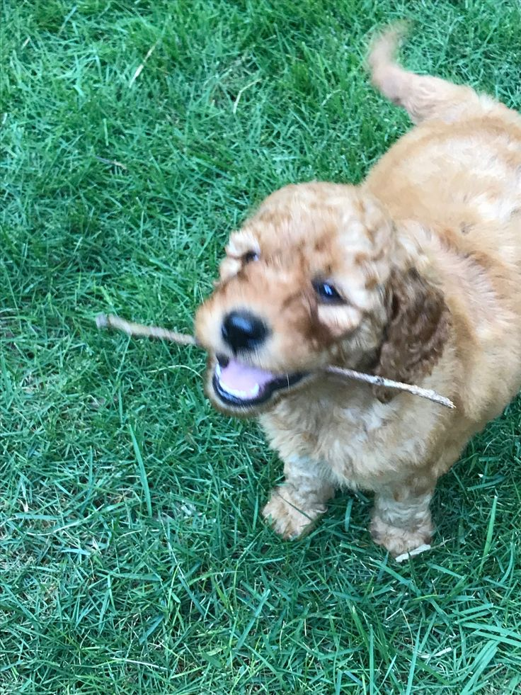 Ollie's FIRST Stick! The obsession is real. goldendoodle