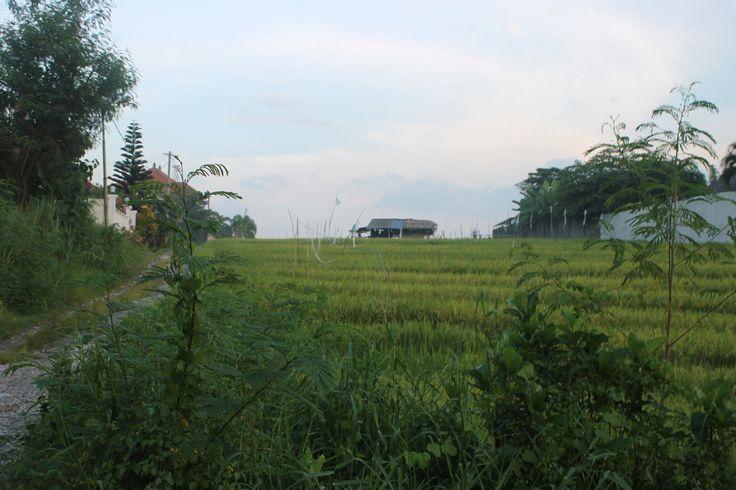 Ricefield at Canggu, Bali, Indonesia